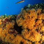 margherite di mare 74 150x150 Parazoanthus axinellae   Margherita di mare