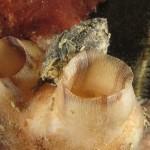 nassario chiaro 16 150x150 Nassarius nitidus, Nassario chiaro