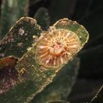paractinia striata 26 150x150 Parattinia striata