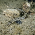 pesce ago adriatico 02 150x150 Pesce ago adriatico