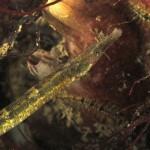 pesce ago musocorto 22 150x150 Pesce ago di rio