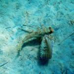pesce civetta 02 150x150 Dactylopterus volitans, Cephalacantus volitans, Pesce civetta