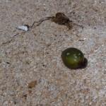 posidonia olive 23 150x150 Posidonia olive