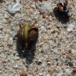 posidonia olive 27 150x150 Posidonia olive