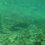 sardina giovane 13 150x150 Sardina giovane