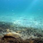 sardine giovani 05 150x150 Sardina giovane
