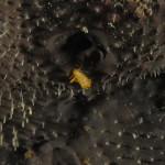 trapania macchiata 42 150x150 Trapania maculata, Trapania macchiata