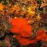 Spugna aliclona rossa