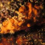 aliclona rossa 03 150x150 Spugna aliclona rossa