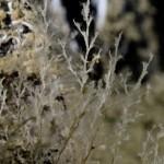 Bougainvillia ramosa