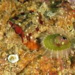 emarginula 03 150x150 Emarginella huzardii   Emarginula di Huzard