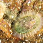 emarginula 06 150x150 Emarginella huzardii   Emarginula di Huzard