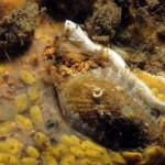 emarginula 10 150x150 Emarginella huzardii   Emarginula di Huzard