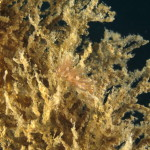 eubranco farrani 58 150x150 Eubranchus farrani   Eubranco arancione
