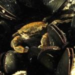 granchio branchynotus gemellari 10 150x150 Granchio branchinoto