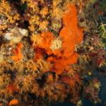 haliclona rossa 06 150x150 Spugna aliclona rossa