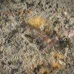 palaemon macrodactylus 031 150x150 Gamberetto macrodattilo