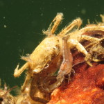 palaemon macrodactylus 04 150x150 Gamberetto macrodattilo