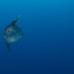 pesce luna 07 150x150 Pesce luna
