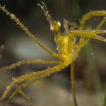 granchio macropodia rostrata 09 150x150 Granchio ragno rostrato
