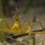 granchio macropodia rostrata 10 150x150 Granchio ragno rostrato