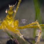 granchio macropodia rostrata 11 150x150 Granchio ragno rostrato