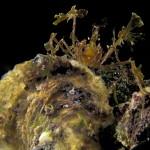 granchio macropodia rostrata 16 150x150 Granchio ragno rostrato