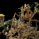 granchio macropodia rostrata 161 150x150 Granchio ragno rostrato