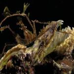 granchio macropodia rostrata 17 150x150 Granchio ragno rostrato