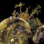 granchio macropodia rostrata 171 150x150 Granchio ragno rostrato