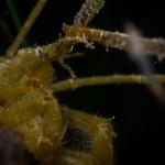macropodia rostrato 20 150x150 Granchio ragno rostrato