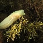 melanoclamis seurati 21 150x150 Aglaia bianca   Philinopsis miqueli