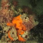 alga ceramio 01 150x150 Alga ceramio