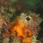 alga ceramio 02 150x150 Alga ceramio