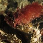 alga ceramio 04 150x150 Alga ceramio