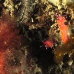 alga ceramio 07 150x150 Alga ceramio