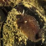 anisodoris marmorata 05 150x150 Doride ocelligera