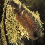 anisodoris marmorata 17 150x150 Doride ocelligera