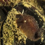 anisodoris marmorata 22 150x150 Doride ocelligera