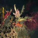 disidea rosa 02 150x150 Spugna disidea incrostante