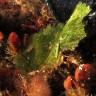 Elysia viridis, Elisia verde