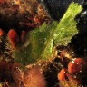 Elisia verde