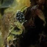 ercolania 18 150x150 Hercolania coerulea   Ercolania