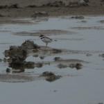 uccello corriere grosso 02 150x150 Charadrius dubius   corriere piccolo