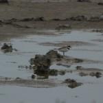 uccello corriere grosso 03 150x150 Charadrius dubius   corriere piccolo