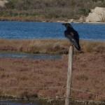 corvo 03 150x150 Corvo nero