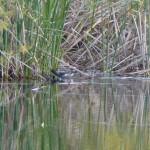 uccello gallinella 04 150x150 Gallinula chloropus   Gallinella dacqua