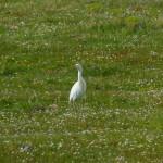 airone guardabuoi 100 150x150 Airone guardabuoi   Bubulcus ibis