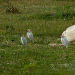 airone guardabuoi 101 150x150 Airone guardabuoi   Bubulcus ibis