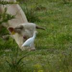 airone guardabuoi 103 150x150 Airone guardabuoi   Bubulcus ibis